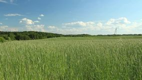 The videos of rye field. The wind shakes the rye on the field. Winter crops spikes stock video footage