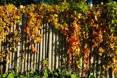 Vides amarillas y anaranjadas en la cerca de madera Foto de archivo libre de regalías