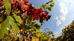 Vides con las hojas rojas en otoño Foto de archivo libre de regalías