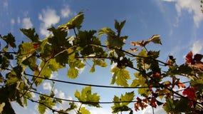 Vides con las hojas rojas en otoño Fotografía de archivo