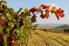 Vides con las hojas rojas en otoño Imagen de archivo libre de regalías