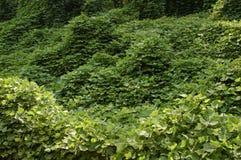Vides de Kudzu Foto de archivo