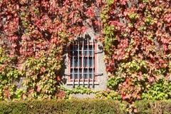 Vides de la hiedra que crecen sobre el castillo que mira la ventana con las barras Fotografía de archivo libre de regalías