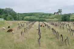 Vides de uva abandonadas con las ovejas Foto de archivo