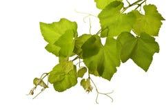 Vides de uva aisladas Imagenes de archivo