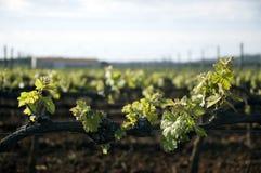 Vides de uva blandas del resorte Fotos de archivo