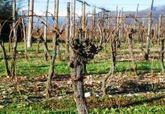 Vides de uva descubiertas del invierno Fotografía de archivo