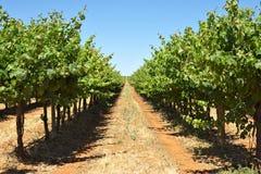 Vides de uva en una fila Fotos de archivo libres de regalías
