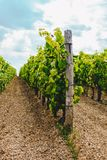 Vides en un viñedo en otoño Uvas de vino antes de vinos del italiano de la cosecha Foto de archivo libre de regalías