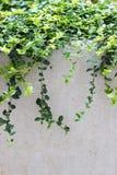 Vides frondosas sobre la pared Foto de archivo