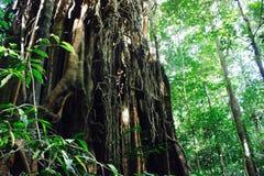 Vides gigantes de la higuera en selva tropical Imagen de archivo libre de regalías