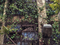 Vides que crecen sobre fachada constructiva abandonada vieja Foto de archivo libre de regalías