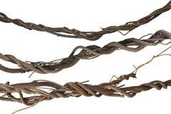 Vides torcidas colección, planta de la selva de la liana aislada en b blanco fotografía de archivo