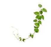 Vides verdes en forma de corazón de la hoja aisladas en el fondo blanco, clip Foto de archivo