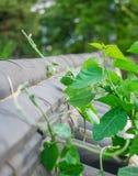Vides verdes que crecen sobre la cerca fotografía de archivo libre de regalías