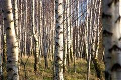Vidoeiro-árvores Foto de Stock Royalty Free