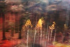Vidoeiro-árvores novas Imagem de Stock