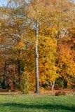 Vidoeiro com um aviário no fundo da floresta dourada do outono imagem de stock