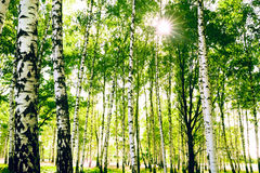 Vidoeiro da floresta Imagens de Stock Royalty Free