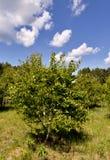 Vidoeiro novo no fundo do céu azul com nuvens brancas Foto de Stock