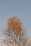 Vidoeiro. Outono. Foto de Stock Royalty Free