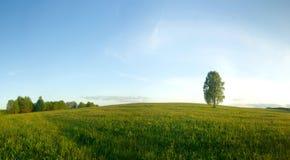 Vidoeiro só em um campo. Foto de Stock Royalty Free