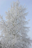 Vidoeiro sob o hoar-frost Fotografia de Stock Royalty Free
