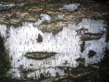 vidoeiro Textura bark Fundo Foto de Stock
