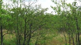 Vidoeiros ao longo da borda da estrada Ilha de Sakhalin video estoque