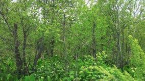 Vidoeiros ao longo da borda da estrada Ilha de Sakhalin vídeos de arquivo