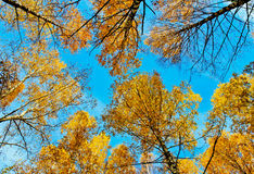 Vidoeiros do outono da coroa Fotos de Stock Royalty Free