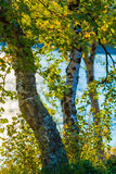 Vidoeiros do por do sol Imagem de Stock