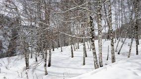 Vidoeiros e neve Fotos de Stock