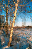 Vidoeiros em um por do sol Imagens de Stock Royalty Free