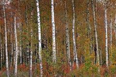 Vidoeiros na floresta amarela do vidoeiro do outono em outubro entre outros vidoeiros no bosque do vidoeiro foto de stock royalty free