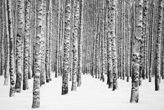 Vidoeiros nevados do inverno preto e branco imagens de stock