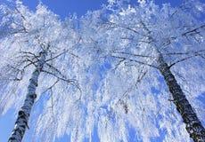 Vidoeiros no inverno fotografia de stock
