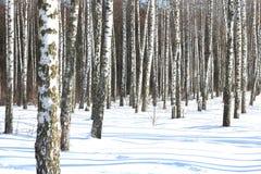 Vidoeiros no inverno na neve fotos de stock