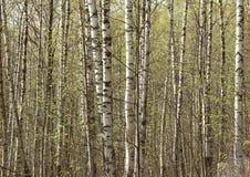 Vidoeiros novos no bosque na mola fotos de stock royalty free