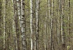 Vidoeiros novos no bosque na mola imagens de stock royalty free