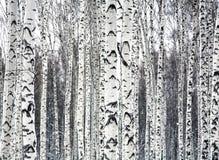 Vidoeiros preto e branco Fotografia de Stock