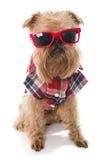 Vidrios del rojo de Bruselas Griffon de la raza del perro Foto de archivo libre de regalías