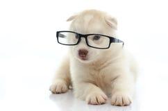 Vidrios que llevan del husky siberiano lindo en el fondo blanco Imagen de archivo libre de regalías