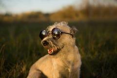 Vidrios que llevan del perro imagenes de archivo