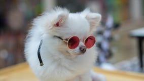 Vidrios que llevan del perro blanco Imágenes de archivo libres de regalías