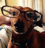 Vidrios que llevan del perro del wennie de Dashuand Imagen de archivo libre de regalías