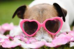 Vidrios rosados en forma de corazón que llevan del perro romántico como símbolo del día de tarjeta del día de San Valentín foto de archivo libre de regalías