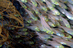 Vidro-peixes Foto de Stock Royalty Free