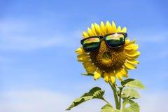 Vidros do desgaste do girassol médios luz solar em Tailândia Fotografia de Stock Royalty Free