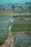 Vidsträckt av grönskafält av Java Land royaltyfri foto